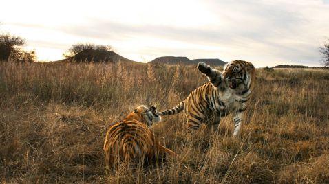 Afrikas Tigerfarm